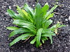 <b>Culantro</b> <i>(Eryngium foetidum L., Apiaceae)</i> (January 22, 2006)