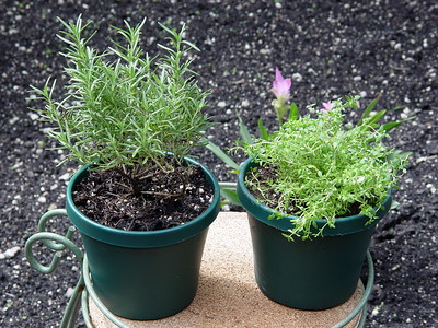 Rosemary, Thyme