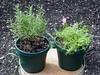 <b>Rosemary</b> <i>(Rosmarinus officinalis)</i> and <b>Thyme</b> <i>(Thymus vulgaris)</i> (October 2, 2005)