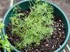 <b>Dill</b> <i>(Anethum graveolens)</i>  (September 4, 2005)