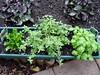 <b>Culantro</b> <i>(Eryngium foetidum L., Apiaceae)</i>, <b>Italian Oregano</b> <i>(Origanum x majoricum)</i>, <b>Sweet Basil</b> <i>(Ocimum basilicum)</i>  (September 4, 2005)