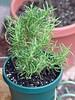 <b>Rosemary</b> <i>(Rosmarinus officinalis)</i> (September 10, 2005)