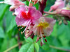 Pink Chestnut Tree Blossom (Newbury, MA - May 2006)
