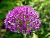 Purple Sensation <i>(Allium aflatunense)</i> (Newbury, MA - May 2006)