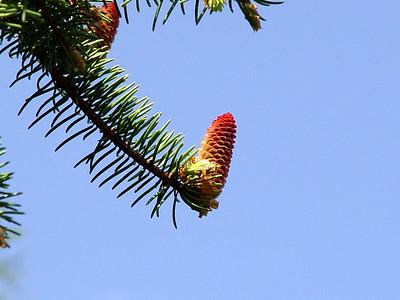 White Spruce Pinecone