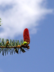 White Spruce Pinecone
