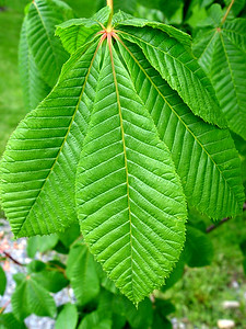 Pink Chestnut Tree Leaf