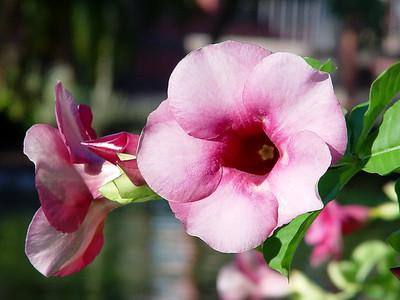 Hibiscus at Miami MetroZoo