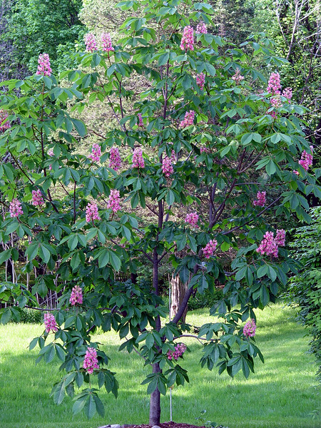 "Pink Chestnut Tree  The horse chestnut's scientific name is <i>Aesculus hippocastanum</i>.  It grows naturally in the moist mountain valleys of parts of Albania and Greece.  These trees are seen at their best when grown in the open reaching up to 35m (115 feet) with the arching branches normally turned up at the ends. It is one of the largest flowering trees of the temperate world.   Other species are found in North America where the glossy nuts appearing from the spiny shells give them the name of ""buck-eye"" as the chestnuts resemble the eye of a deer.  The pink and red flowered forms are hybrids between the horse chestnut and red American buck-eyes.    (Newbury, MA - May 2006)"