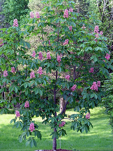 Pink Chestnut Tree
