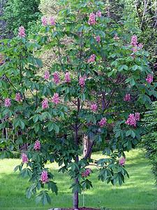 Pink Chestnut Tree