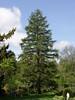 Pine Tree (Newbury, MA - May 2006)
