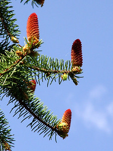 White Spruce Pinecones