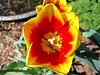 Tulip (Newbury, MA - May 2006)