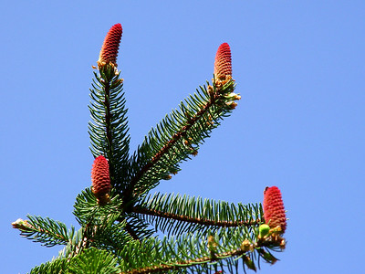 White Spruce Pinecones