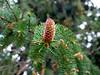 Pine Cones (Newbury, MA - May 2006)