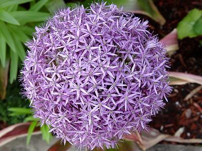 Purple Sensation