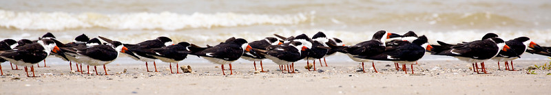 A great flock of Black Skimmers.