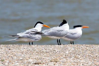 Three Royal Terns.