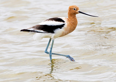 Male Avocet struts.  Distinctive blue legs.