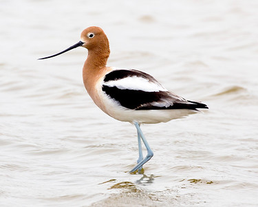 Male Avocet in profile.