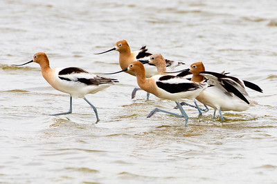 A running squadron of Avocets.