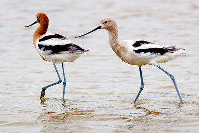 Pair of Avocets, male and female or juvenile.