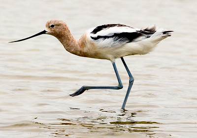 Female (or Juvenile) Avocet running.