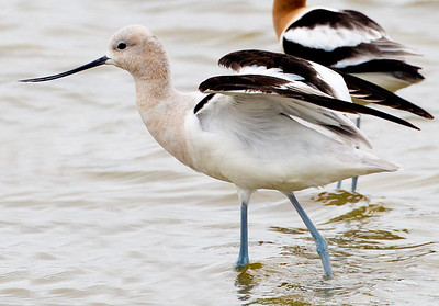 A  juvenile or female Avocet thinks about taking flight.
