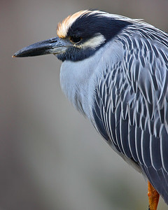 This Yellow-crowned Night Heron photograph was captured at Corkscrew Swamp Sanctuary (2/07).