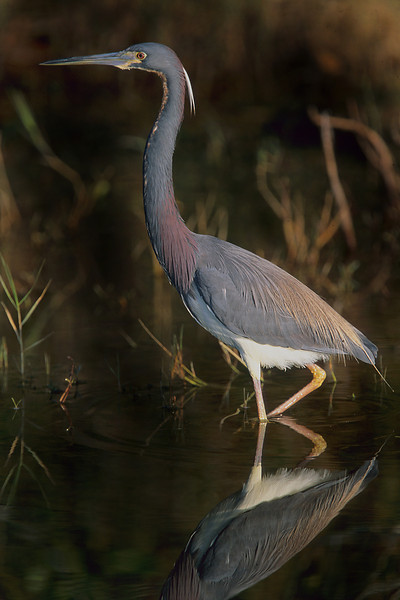 This is a photograph of a Tri-colored Heron taken in Everglades National Park (5/04).