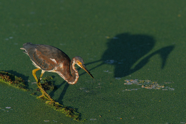 This is a photograph of a Little Green Heron taken in  Wakodahatchee Wetlands in Delray Beach, Florida (8/05).