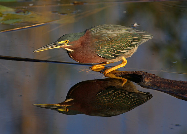 This Green Heron photograph was captured at Everglades National Park (2/07).