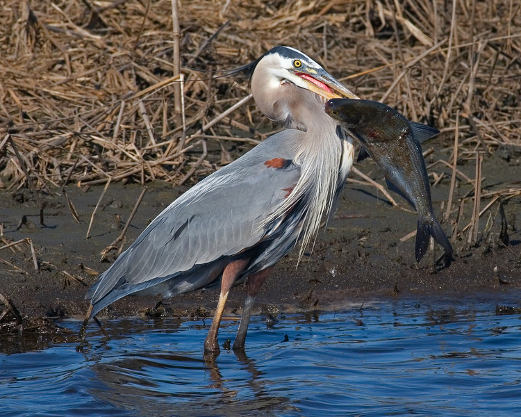 This Great Blue Heron photograph was captured in Bombay Hook National Wildlife Refuge in Delaware (5/07).