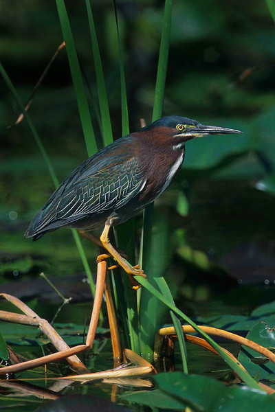 This is a photograph of a Little Green Heron taken in Everglades National Park (3/05).