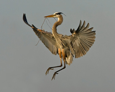 This photograph of a Great Blue Heron was captured in Florida's Viera Wetlands in Melbourne, Florida.   The early morning light was perfect as the herons were flying into their nest location with sticks (12/08).   This photograph is protected by the U.S. Copyright Laws and shall not to be downloaded or reproduced by any means without the formal written permission of Ken Conger Photography.