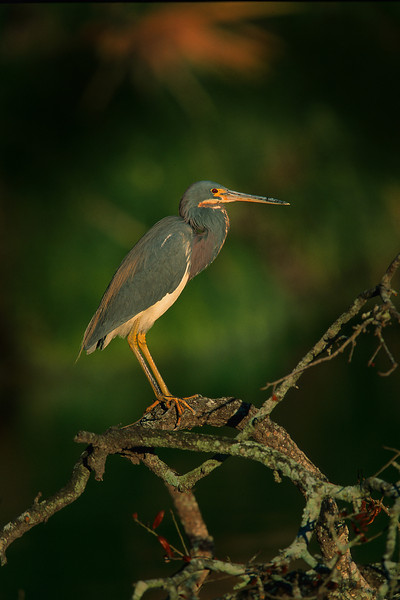 This is a photograph of a Tri-colored Heron taken in St. Augustine, Florida (3/05).