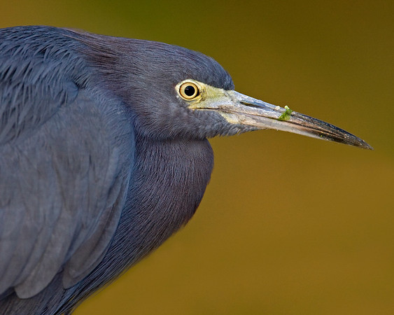 This photograph of a Little Blue Heron was captured in a Green Cay Wetlands in Boynton Beach, Florida (12/08).   This photograph is protected by the U.S. Copyright Laws and shall not to be downloaded or reproduced by any means without the formal written permission of Ken Conger Photography.