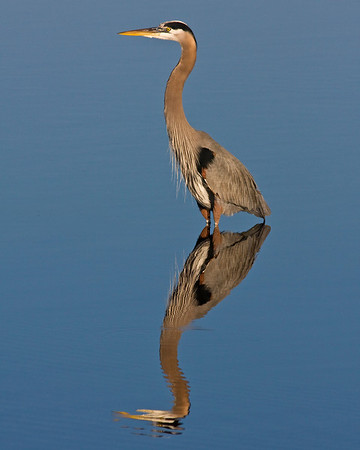 This photograph of a Great Blue Heron was captured in a Merritt Island National Wildlife Refuge in Titusville, Florida (12/08).   This photograph is protected by the U.S. Copyright Laws and shall not to be downloaded or reproduced by any means without the formal written permission of Ken Conger Photography.