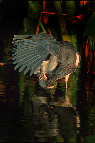 This is a photograph of a Tri-colored Heron taken in Everglaeds National Park (3/05).