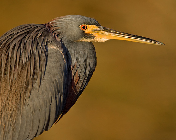 This photograph of a Tricolored Heron was captured in a Green Cay Wetlands in Boynton Beach, Florida (12/08).   This photograph is protected by the U.S. Copyright Laws and shall not to be downloaded or reproduced by any means without the formal written permission of Ken Conger Photography.