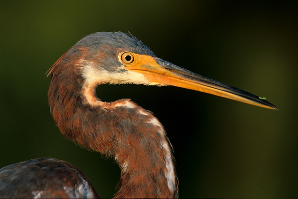 This is a photograph of a immature Tri-colored Heron taken in  Wakodahatchee Wetlands in Delray Beach, Florida (8/05).