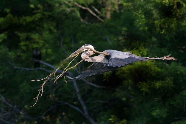 This is a photograph of a Great Blue Heron in flight with nesting material at the Wakodahatchee Wetlands in Delray Beach, Florida (4/05).