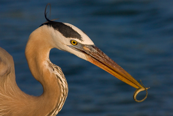 This Great Blue Heron photograph was captured at Fort DeSoto Park, Florida (4/08).   This photograph is protected by the U.S. Copyright Laws and shall not to be downloaded or reproduced by any means without the formal written permission of Ken Conger Photography.