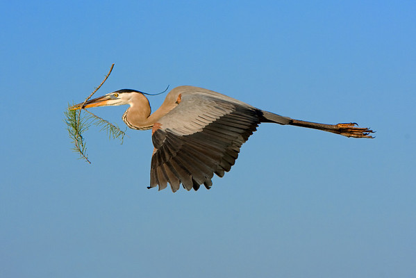 This Great Blue Heron photograph was captured at Wakodahatchee Wetlands, Florida (4/08).   This photograph is protected by the U.S. Copyright Laws and shall not to be downloaded or reproduced by any means without the formal written permission of Ken Conger Photography.