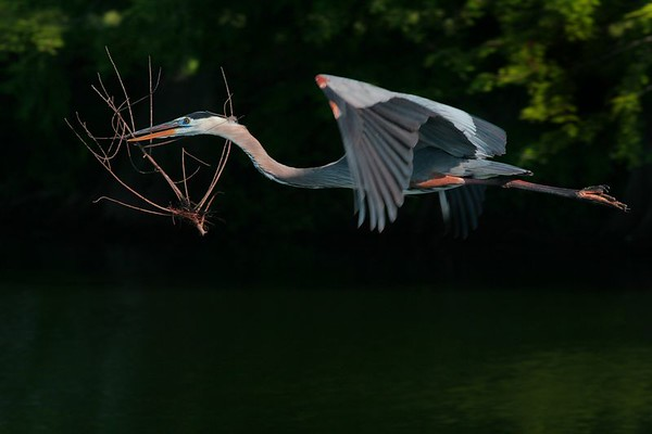 This is a photograph of a Great Blue Heron in flight with nesting material taken at the Wakodahatchee Wetlands in Delray Beach, Florida (4/05).