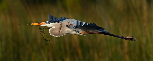 This photograph of a Great Blue Heron flier was captured in Viera Wetlands in Melbourne, Florida (12/08).