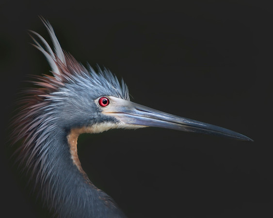 This is a photograph of a Tri-colored Heron in breeding colors.  Worked my way up to him slowly for a up close shot when another male approached.  As he flared up I was able to capture this image (St. Augustine 4/06).