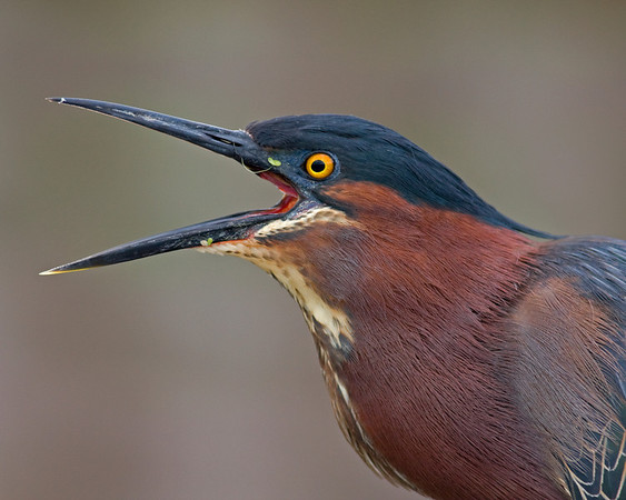 This Green Heron was photographed in Wakodahatchee Wetlands Park, Florida (4/08).   This photograph is protected by the U.S. Copyright Laws and shall not to be downloaded or reproduced by any means without the formal written permission of Ken Conger Photography.