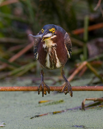 This Green Heron photograph was captured at Green Cay Wetlands in Boyton Beach, Florida (11/07).   This photograph is protected by the U.S. Copyright Laws and shall not to be downloaded or reproduced by any means without the formal written permission of Ken Conger Photography.